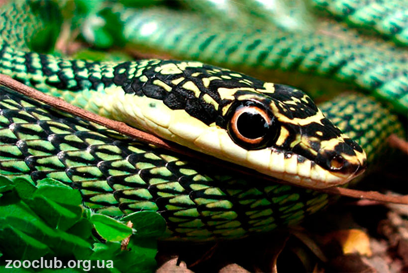 фото обыкновенной украшенной змеи