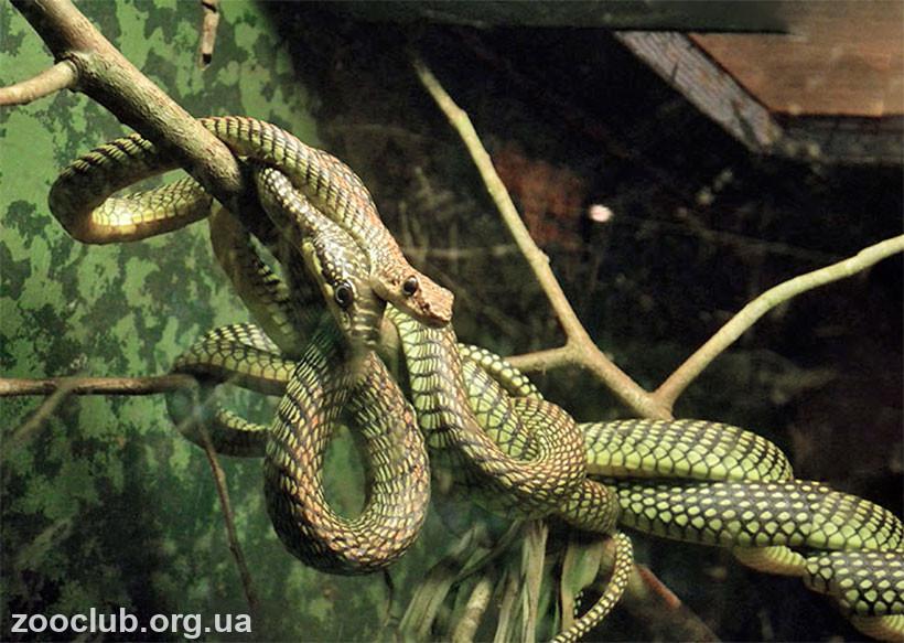 змеи которые прыгают