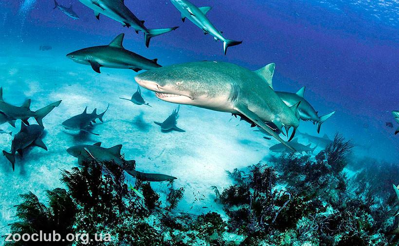 фото большой голубой акулы