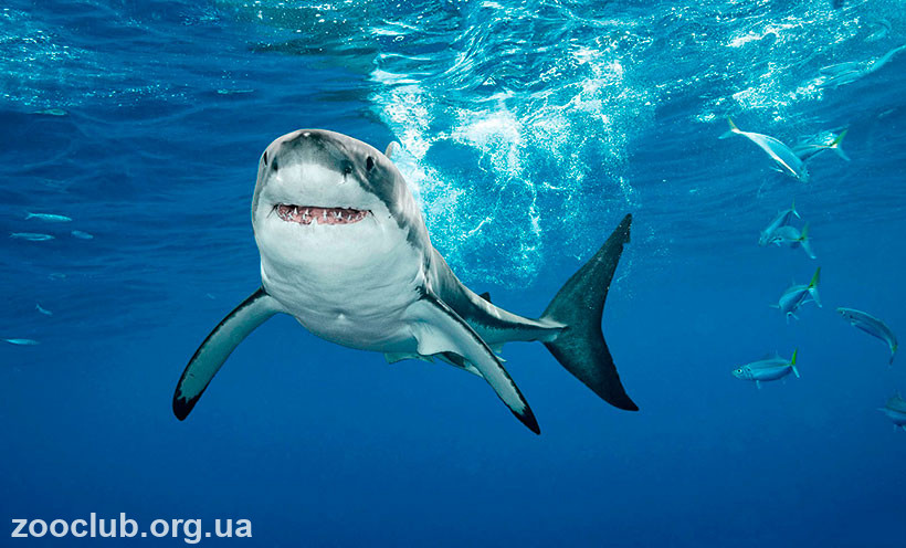 виды акул