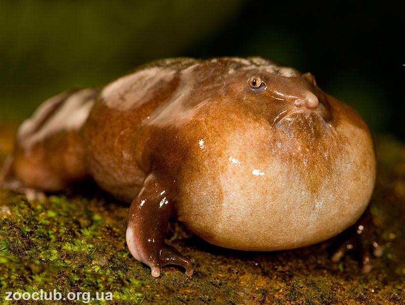 фото пурпурной лягушки