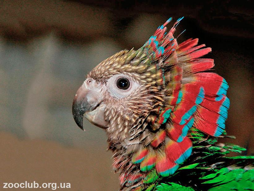 фото веерного попугая