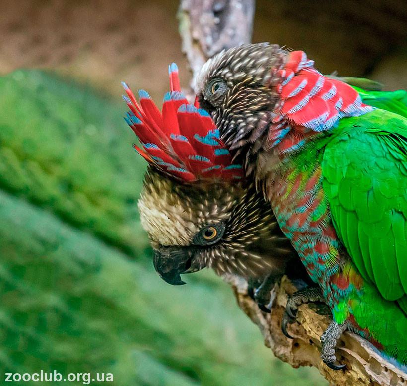 веерный попугай купить