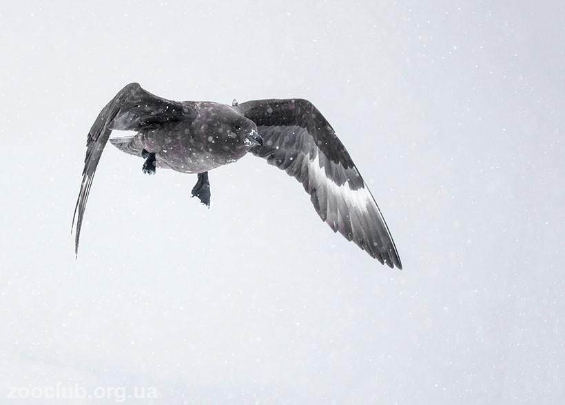антарктический поморник фото
