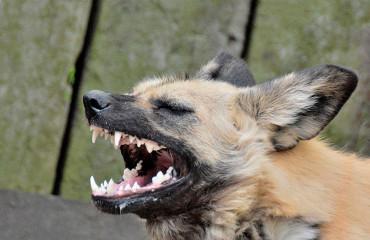 Строкатий вовк