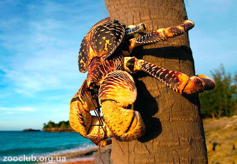 кокосовые крабы почему не едят