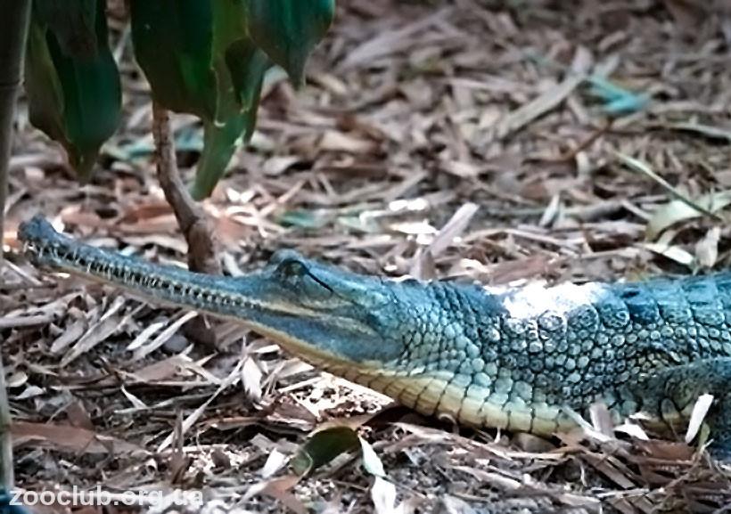 крокодил с длинной мордой