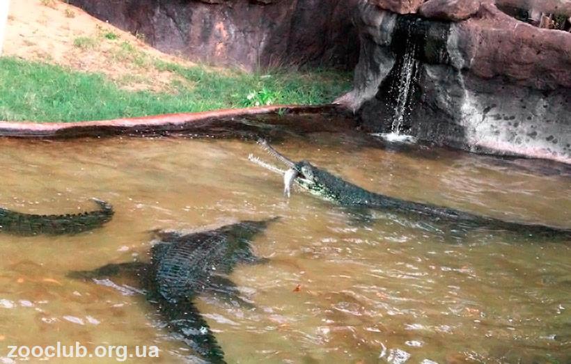 крокодил в озере