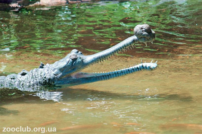 скорость крокодила