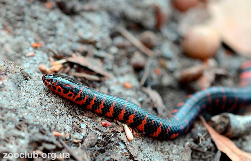 фото иловой змеи