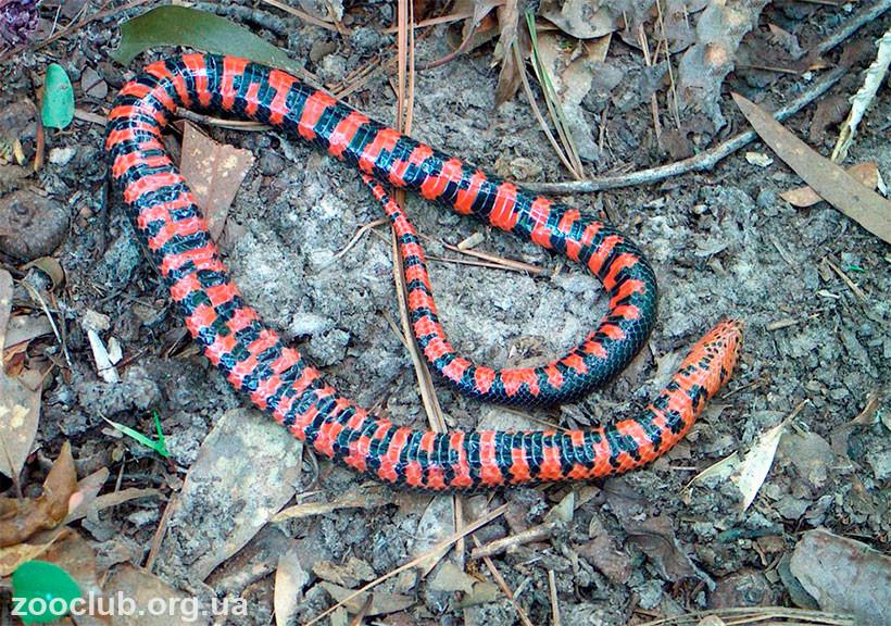 роговая змея фото