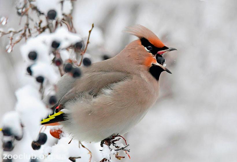свиристель перелетная птица