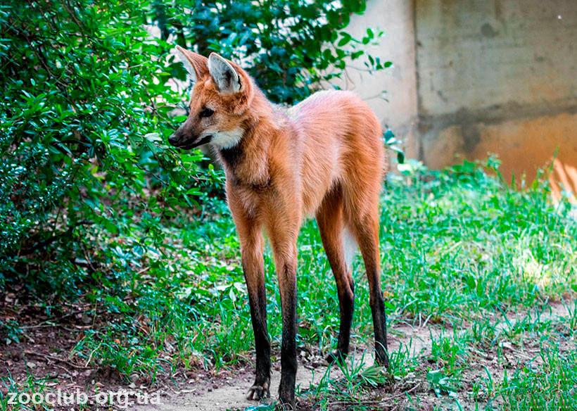 Фото гривистого волка