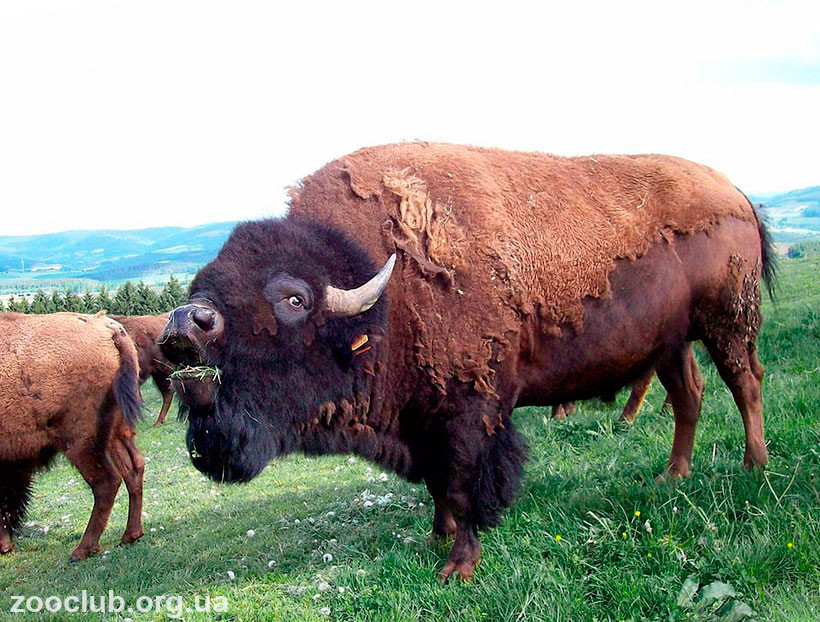 где живут бизоны