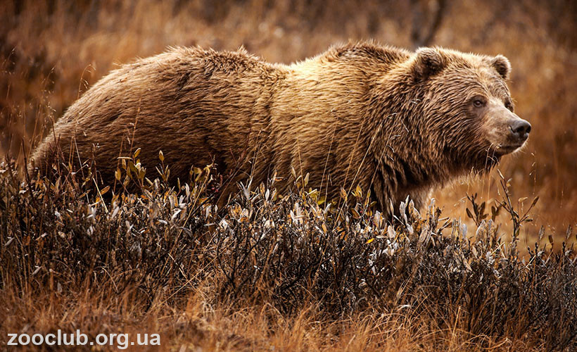 фото Ursus arctos horribilis