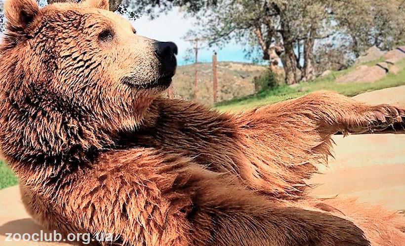 фото медведя гризли
