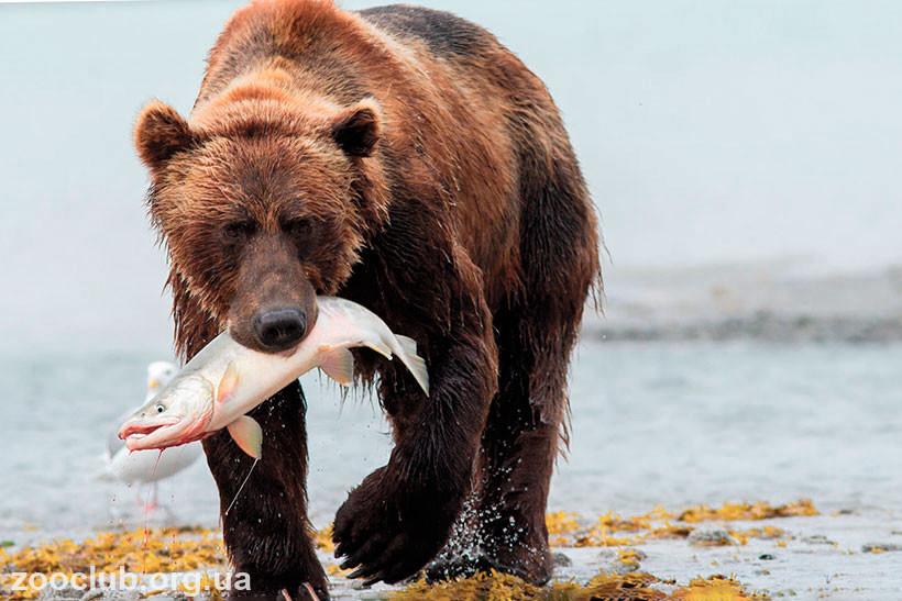 что ест медведь гризли