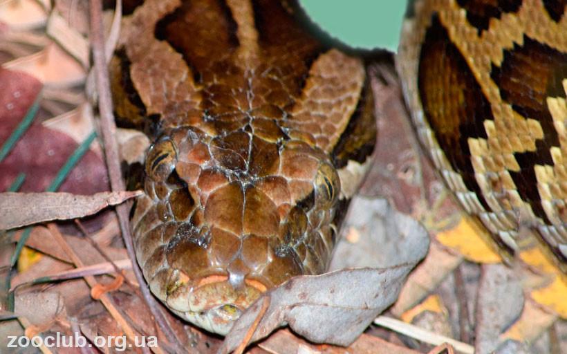 фото Python bivittatus