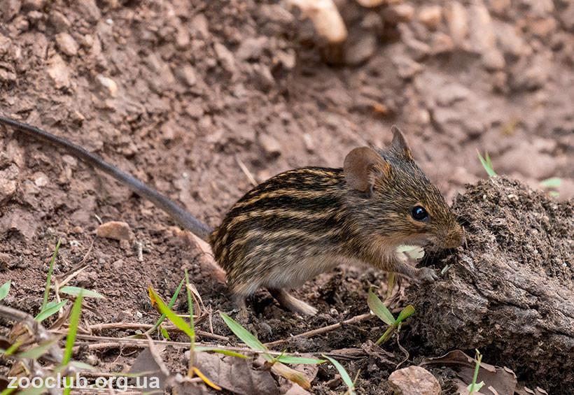 Полосатая мышь фото