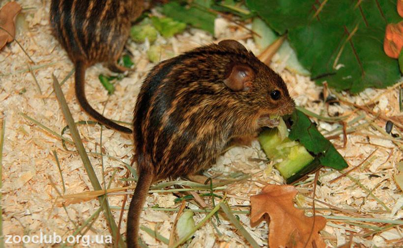 мышь полосатая