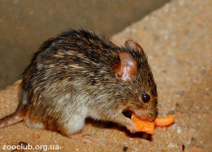 фото мышь