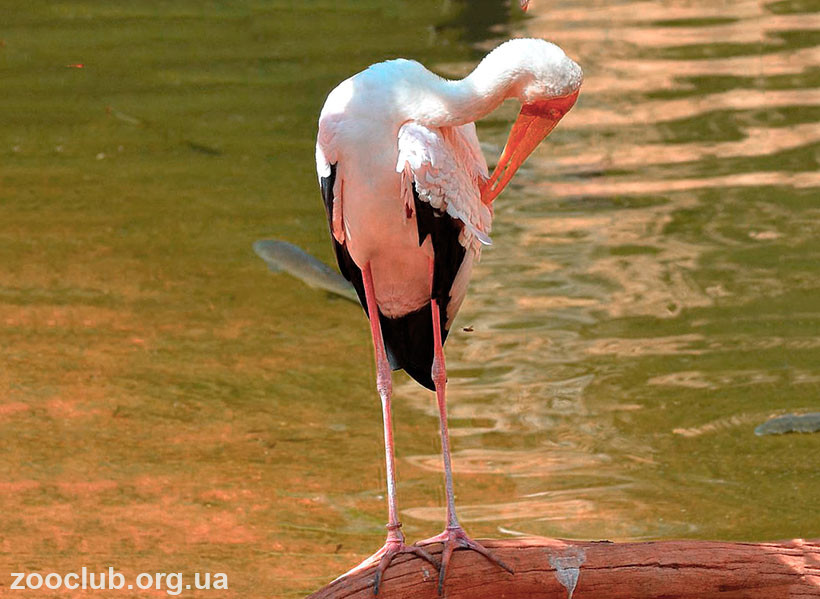 Клювач африканский птица