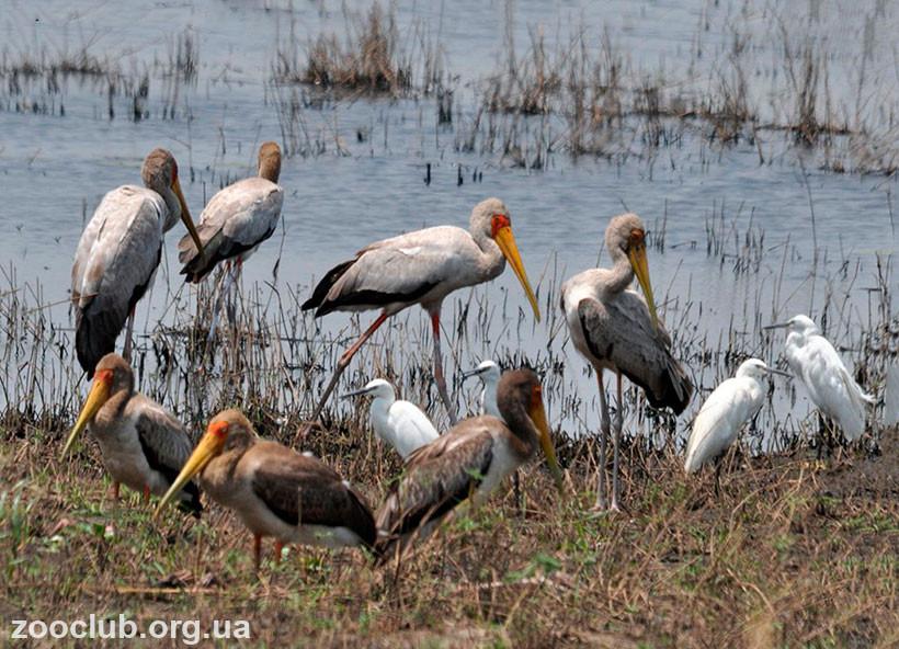 фото Mycteria ibis