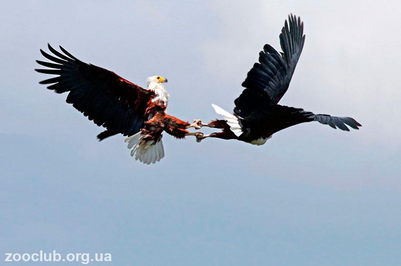 Фото орлана-крикуна