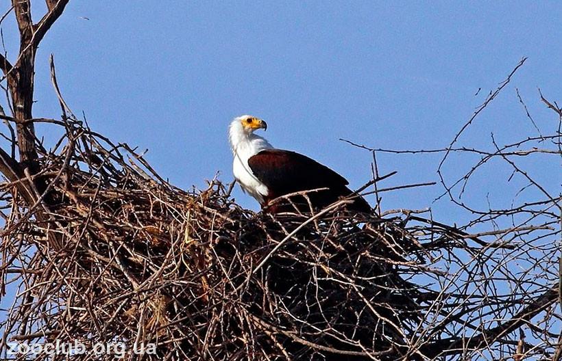 птица орлан-крикун