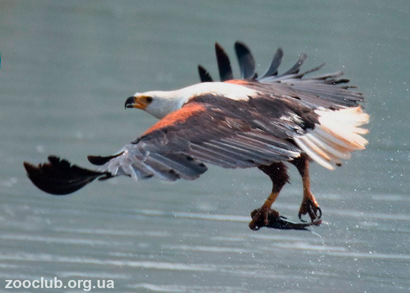 как выглядит орлан-крикун
