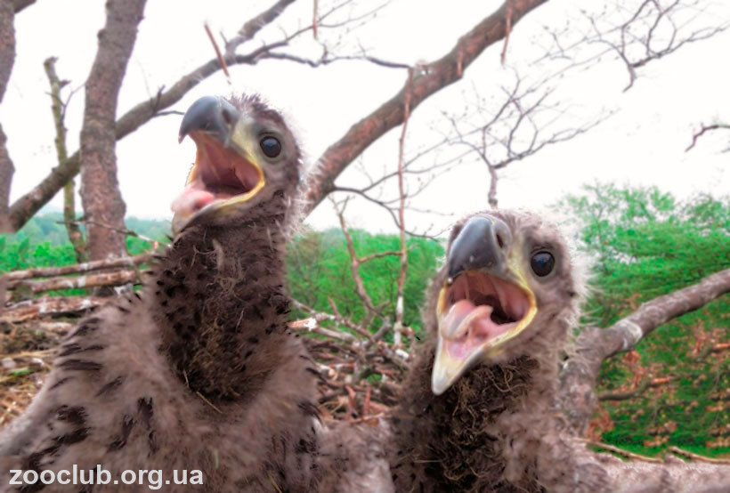 где гнездится орлан-белохвост