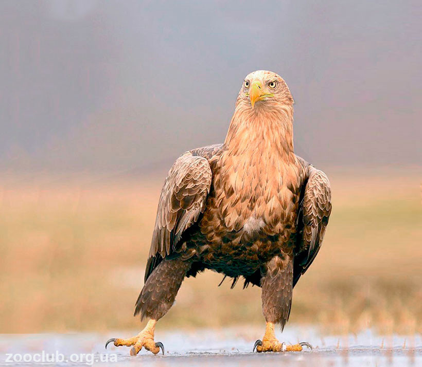 орлан-белохвост место обитания