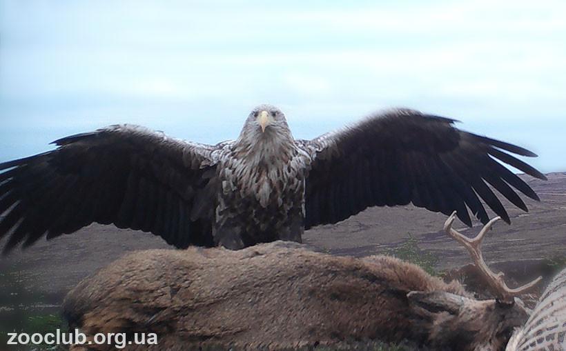 фото орлана-белохвоста