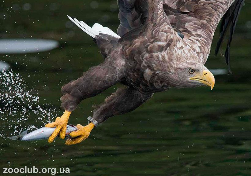 Орлан-белохвост птица