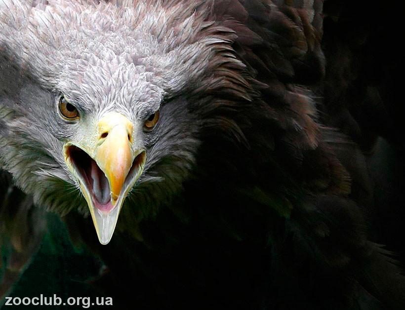орлан-белохвост чем питается
