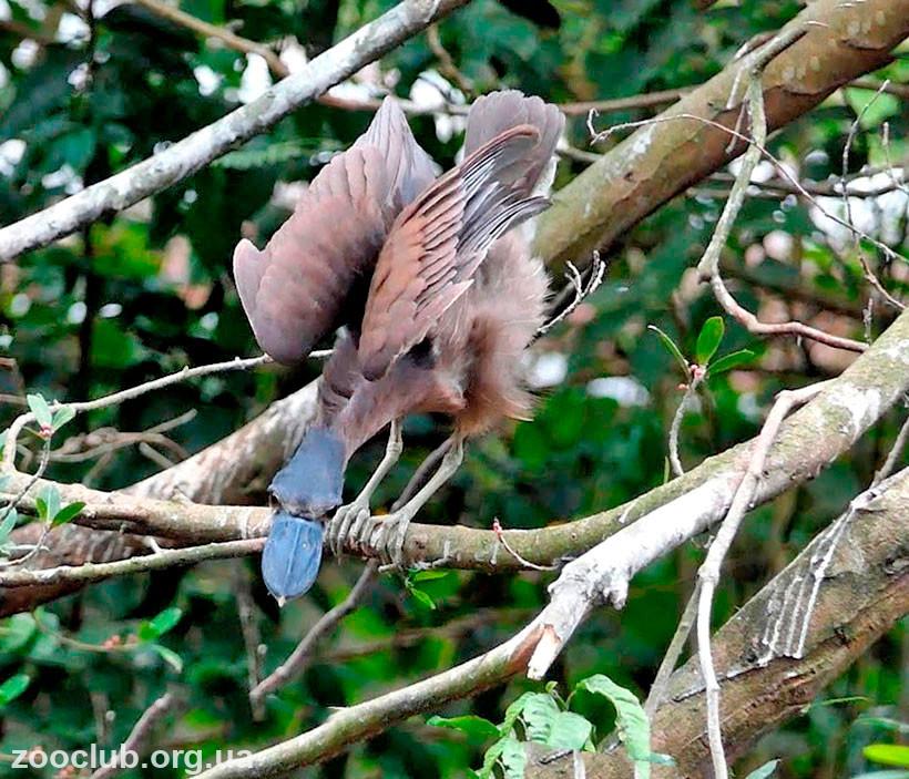 Челноклюв птица