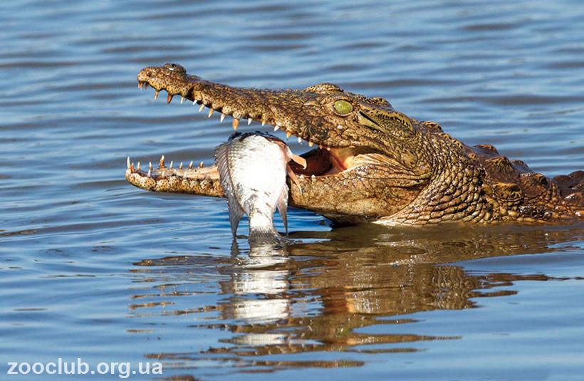 нильский крокодил тип