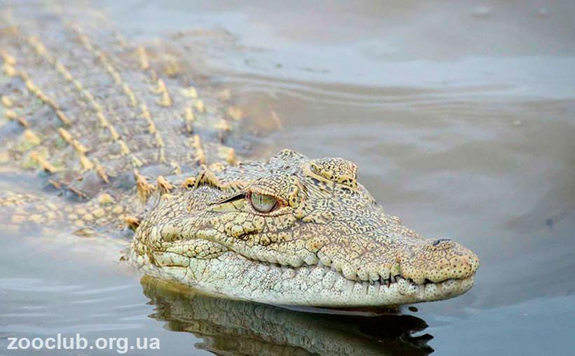нильский крокодил сила укуса