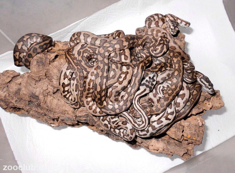 фото коврового питона