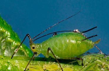 Попелиця зелена яблунева