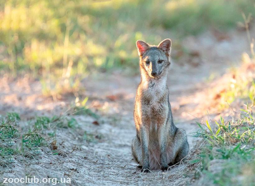 фото лисицы-крабоеда
