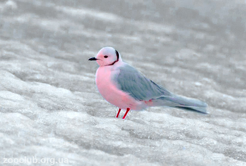 чайка розовая фото