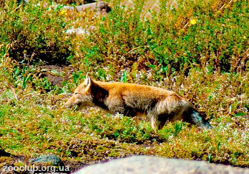 фото тибетской лисы