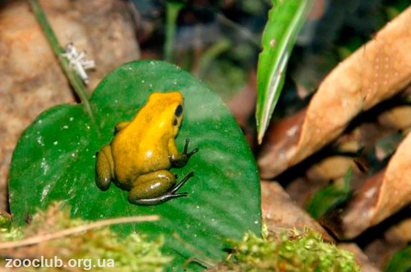 Золотая лягушка или листолаз ужасный