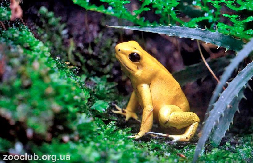 Ядовитая лягушка название