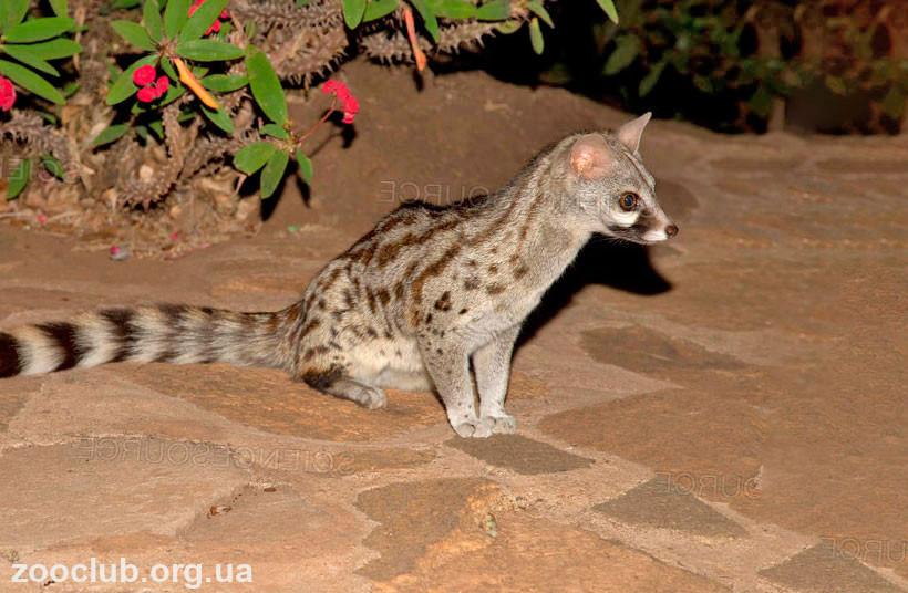 Генетта кошка