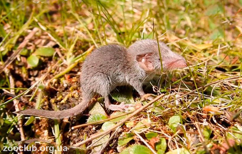 мышь этрусская фото