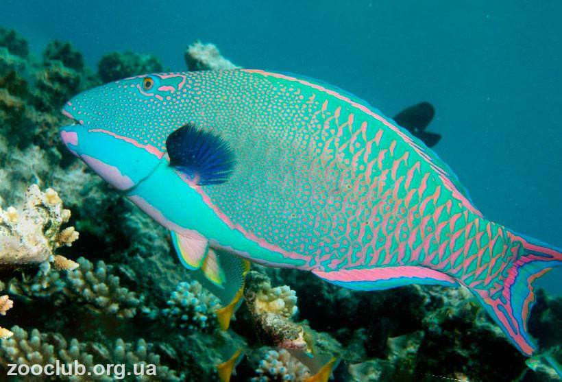 фото рыбы-попугая