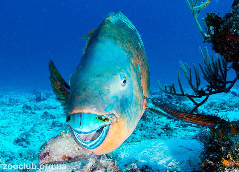 Самец рыбы-попугай