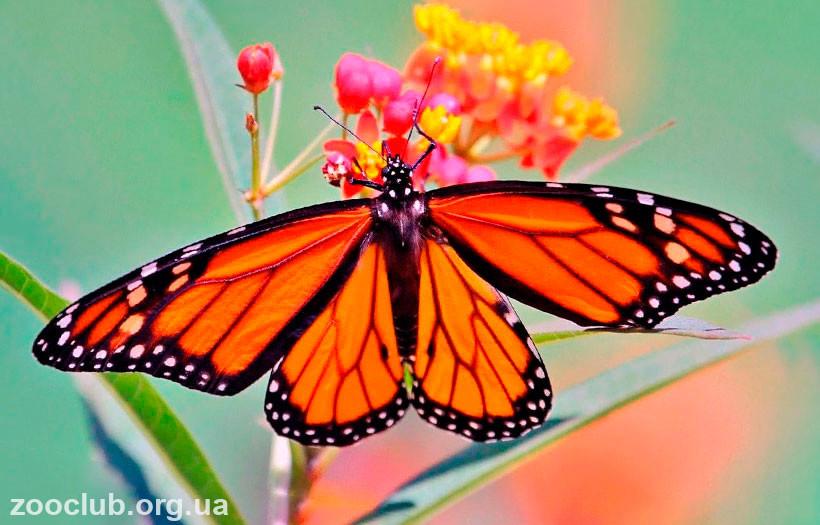 фото данаиды монарх